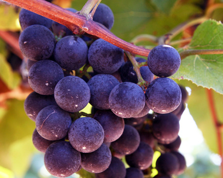 clusters: Grape clusters on the vine backlit by sunshine. Stock Photo