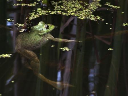 bullfrog suspended in pond  Banco de Imagens