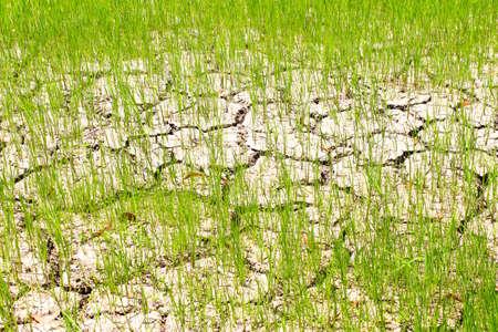 sequias: campo de arroz de sequía Foto de archivo