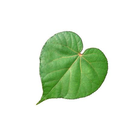 leaf shape: Heart shape leaf