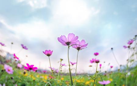 flores moradas: Cosmos blossoming in spring
