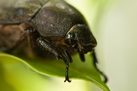 brown beetle on a green leaf Stock Photo - 9466498