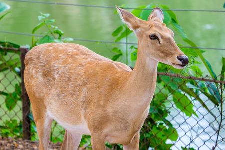 brow: brow antlered deer