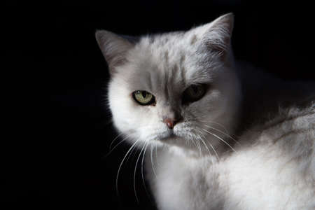 Furry, white cat staring with its green eyes