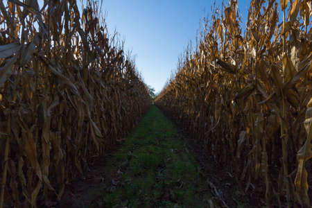A tunnel through the corn fields Stock Photo