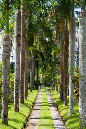 Path lined with palm trees in Indonesia