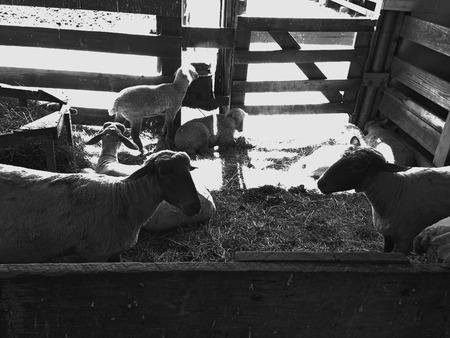 Schapen ontspannen in een kraam op een boerderij Stockfoto
