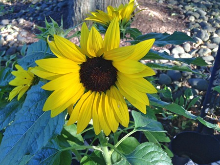 peddle: Bright sunflower shines in the garden Stock Photo