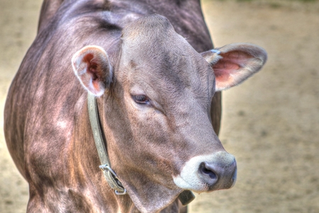 A Brown Swiss cow looking forward