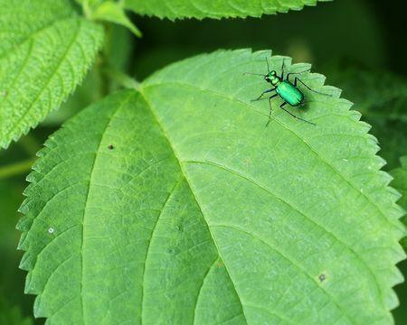 tiger beetle: Sei maculato Scarabeo di tigre Cicindela sexguttata poggiante su foglia verde brillante.