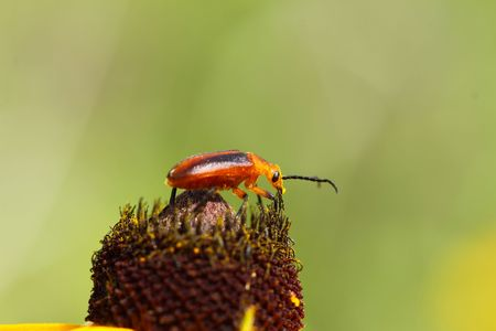 Blister Beetle feeding on flower.