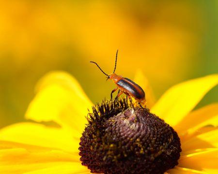 Blister Beetle feeding on Black eyed Susan. Фото со стока