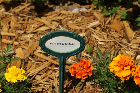 Marigolds in garden with label marked Marigold.