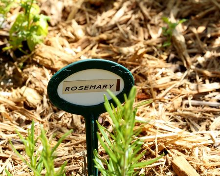 Rosemary herb growing in garden with garden label marked Rosemary.