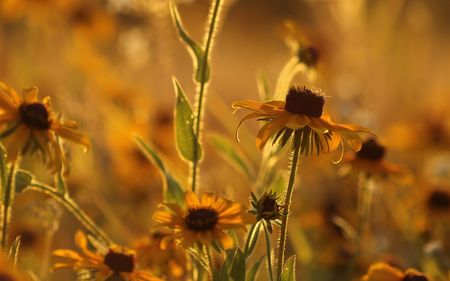 eyed: Field of Black Eyed Susan during the Golden Hour.