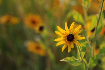 eyed: Colorful Black Eyed Susan with blurred background. Stock Photo