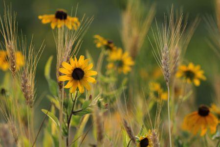 Field of Black Eyed Susans growing amongst wheat. Stock Photo
