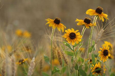 amongst: Field of blossomed Black Eyed Susans amongst wheat grass.