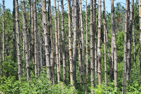 conifer: Forest with tall conifer trees.