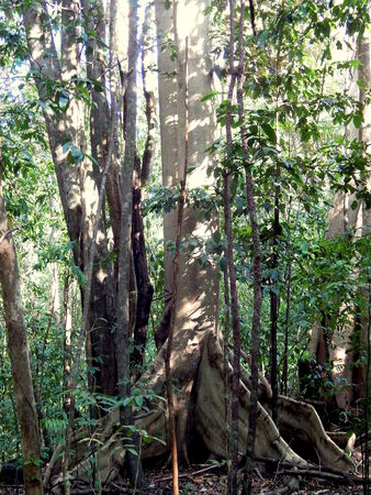 wildwood: Giant tree at rain forest Editorial