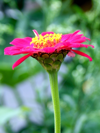 pink flower and green stem photo