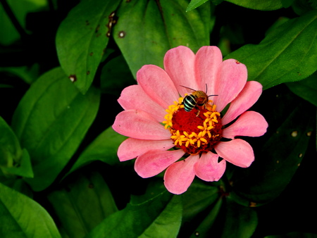 blomming: pink flower, honey bee and green leaves background