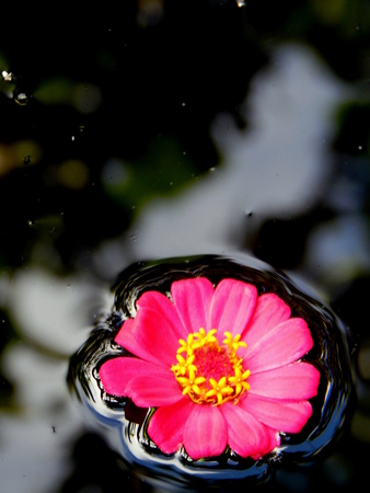 pink flower float on water photo