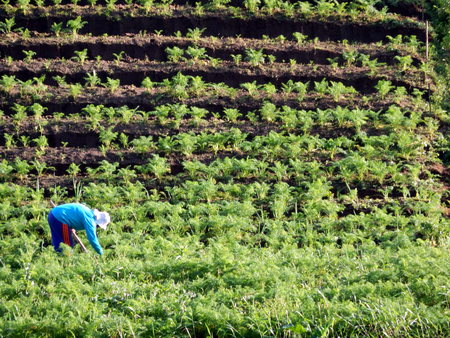 celebes: carrots farm Stock Photo