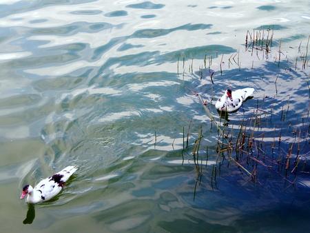 lost lake: two domestic ducks