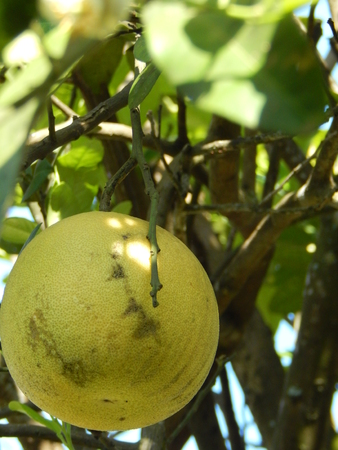 pomelo: pomelo fruit