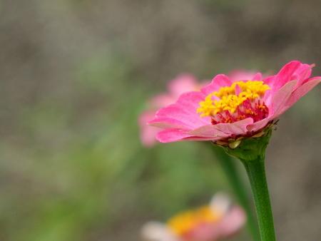 blosom: pink flower in the garden