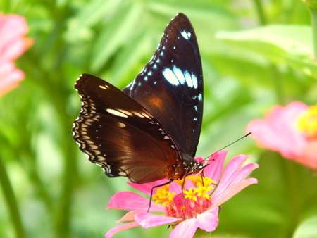 blosom: butterfly on pink flower