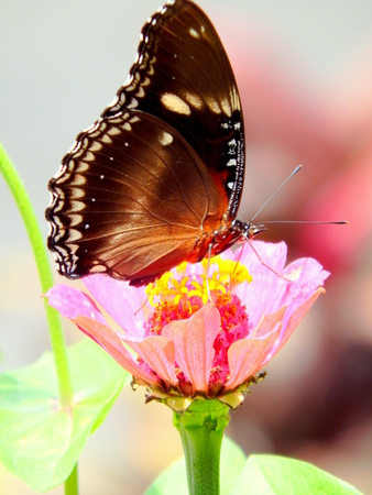 blosom: butterfly searching nectar