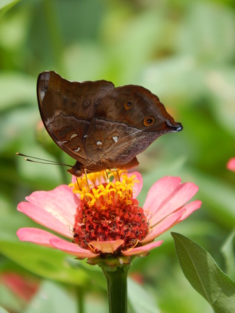 blosom: butterfly camouflage as leaf