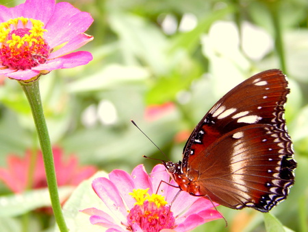 blosom: butterfly,flowers and nectar