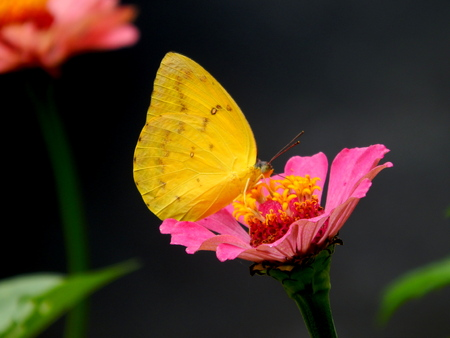 blosom: Yellow butterfly on flower Stock Photo