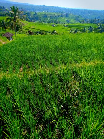 A pathway and green rice field terraces in Jatiluwih village, Bali