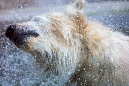 A wet polarbear (icebear) is shaking - water drops
