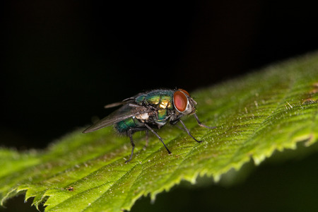 Close-up - a bluebottle fly is sitting on a green leaf