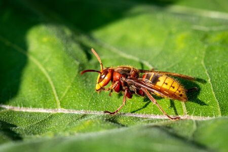 A hornet on a green leaf - closeup macroshot 免版税图像