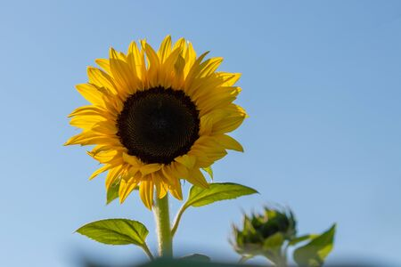 A single colorful sunflower with a clear blue sky Imagens