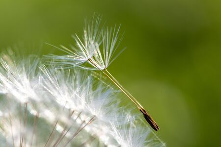 Close-up look on a dandelion seed in the meadow with a green background 版權商用圖片