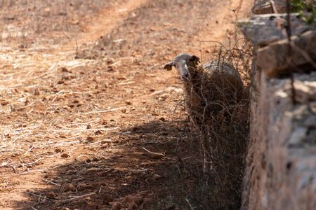 A funny sheep hiding behind a dry bush and looking to the front