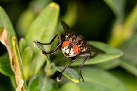 House fly on a leaf looking to the cam - close-up view
