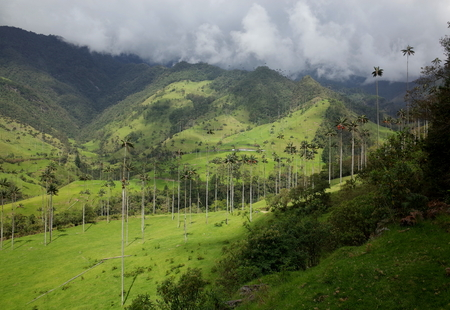 pueblo: Wax Palm Trees in Cocora Valley, Colombia Stock Photo