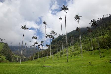 콜롬비아 Cocora Valley의 왁스 야자 나무