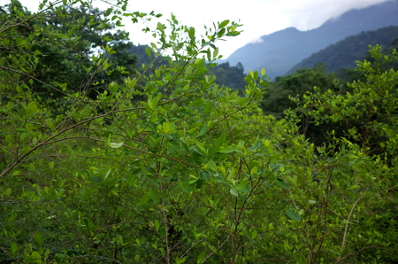 Coca plantations in the Sierra Nevada in the Colombia jungle