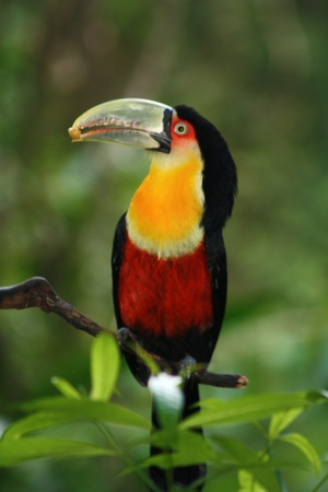 Toucan Stock Photo - 11532770