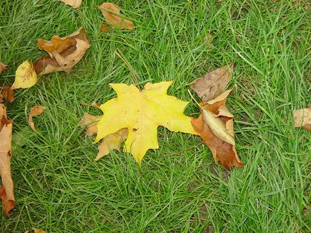 Maple leaf on grass.