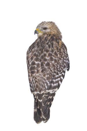 shouldered: Red shouldered hawk isolated
